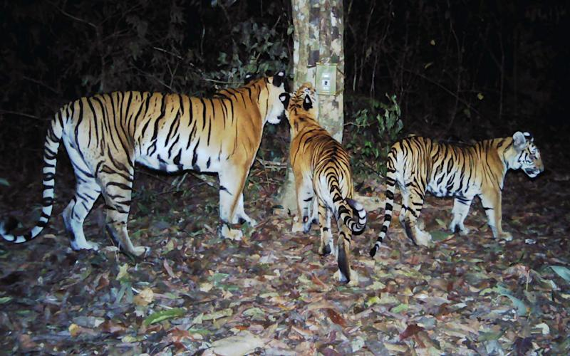 Three Indochinese tigers roam the forest in Eastern Thailand - Credit: AFP