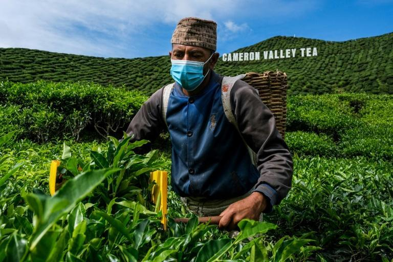 Travel curbs have stopped the flow of migrant workers to tea farms in Malaysia's highlands