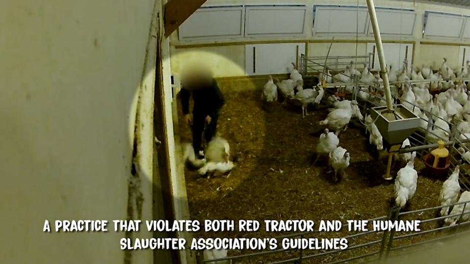 """A video taken by animal welfare group Viva! claims to show a worker killing birds by crushing their necks with """"inhumane"""" pliers. (SWNS)"""