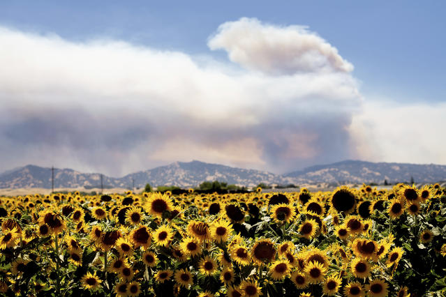 <p>Smoke from a wildfire rises above sunflowers in Citrona, Calif., July 1, 2018.(Photo: Noah Berger/AP) </p>