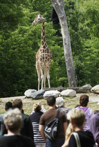 In this Wednesday, June 13, 2012, photo, visitors check out a giraffe at Chicago's Lincoln Park Zoo. Families flock to the 49-acre zoo a few miles north of downtown Chicago where the admission is free and it's open year round. (AP Photo/Charles Rex Arbogast)
