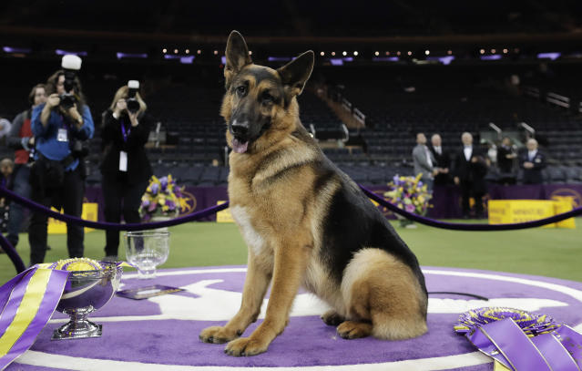 FILE - In this Feb. 15, 2017, file photo, Rumor, a German shepherd, poses for photos after winning Best in Show at the 141st Westminster Kennel Club Dog Show in New York. Named best in show at Westminster in 2017, Rumor counts among her puppies two PTSD service dogs that live with veterans. Two more pups are training toward that goal. (AP Photo/Julie Jacobson, File)
