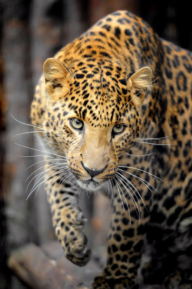 """A leopard on """"Attack of the Big Cats."""""""
