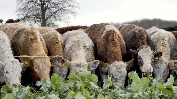 "Cattle feed on kale on Balbirnie farm in Cupar, Scotland, Tuesday Dec. 3, 2019. Johnnie Balfour is the managing director of the farm and is against Scottish independence. Balfour, who family has operated Balbirnie Farm since 1642, is tired of all the back and forth over independence. He remembers that voters were told ahead of the 2014 vote that this was a ""once in a generation"" decision _ he doesn't want to revisit it just five years later. (AP Photo/Renee Graham)"