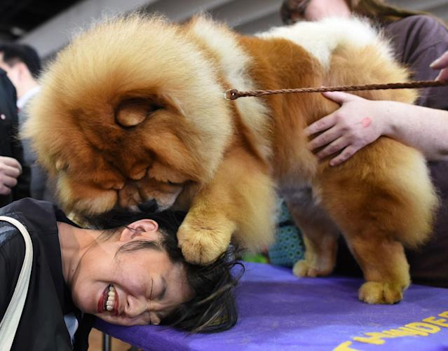 <p>Candace Chien plays with a chow chow in the benching area on Day One of competition at the Westminster Kennel Club 142nd Annual Dog Show in New York on Feb. 12, 2018. (Photo: Timothy A. Clary/AFP/Getty Images) </p>