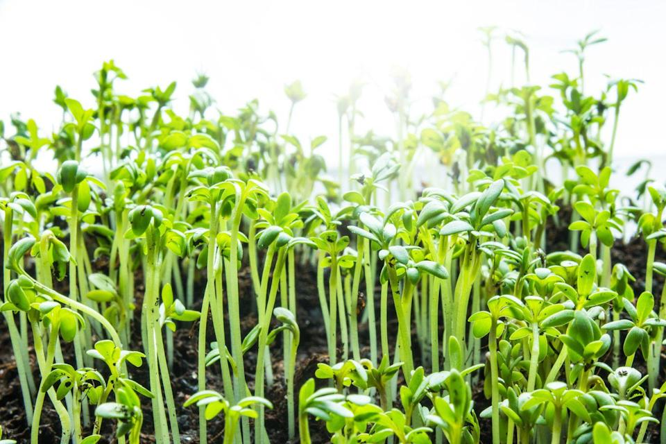 "<p>One of the fastest-growing vegetables you can grow is cress. To grow your own, sprinkle cress seeds over the surface of a pot or sow in the ground quite close together (for example in a tight-knit row). Place on a <a href=""https://www.housebeautiful.com/uk/decorate/kitchen/g423/best-kitchen-design-trends/"" rel=""nofollow noopener"" target=""_blank"" data-ylk=""slk:kitchen"" class=""link rapid-noclick-resp"">kitchen</a> windowsill or outside for the best results. </p><p><strong>Sowing to harvest: 5-7 days </strong></p><p><a class=""link rapid-noclick-resp"" href=""https://www.amazon.co.uk/PREMIER-SEEDS-DIRECT-Curled-Common/dp/B015OJ8VYS/?tag=hearstuk-yahoo-21&ascsubtag=%5Bartid%7C2060.g.32302106%5Bsrc%7Cyahoo-uk"" rel=""nofollow noopener"" target=""_blank"" data-ylk=""slk:BUY CRESS SEEDS"">BUY CRESS SEEDS</a> </p>"