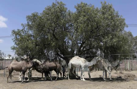 A group of dromedaries and camels are seen in a corral during a media tour organised by circus workers union, to show the animals from some circuses that have already shut, in a town called Tizayuca, near Mexico City, March 9, 2015. REUTERS/Henry Romero