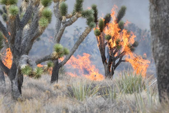 Joshua trees burn in the Dome Fire within the Mojave National Preserve on Aug. 17, 2020.