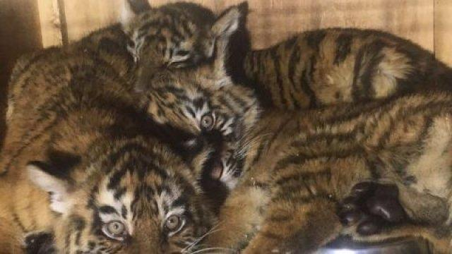 three-baby-tigers-saved-from-tiny-maggot-infested-crate-after-seven-days-at-beirut-airport