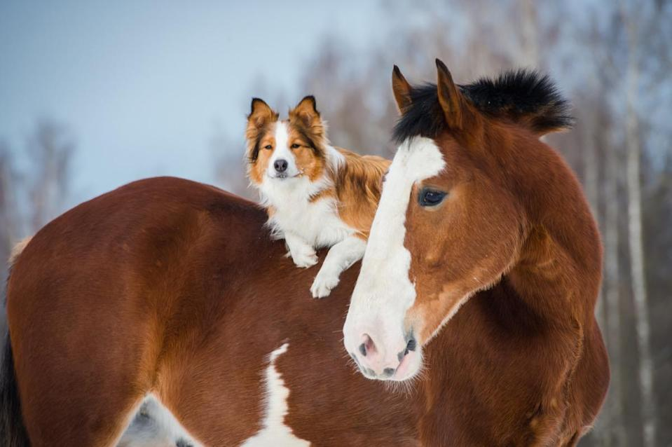 Dogs want to go horseback riding, too!