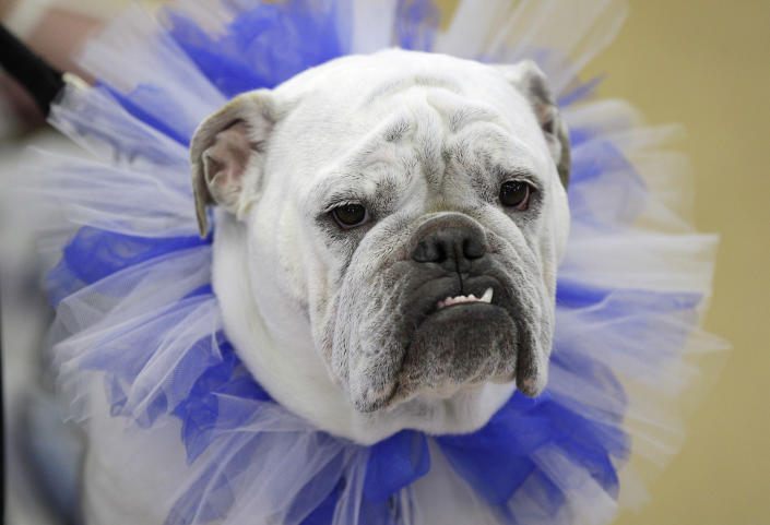 Lilli, owned by Wendi French, of West Des Moines, Iowa, looks on during the 33rd annual Drake Relays Beautiful Bulldog Contest Monday, April 23, 2012, in Des Moines, Iowa. The pageant kicks off the Drake Relays festivities at Drake University where a bulldog is the mascot. (AP Photo/Charlie Neibergall)