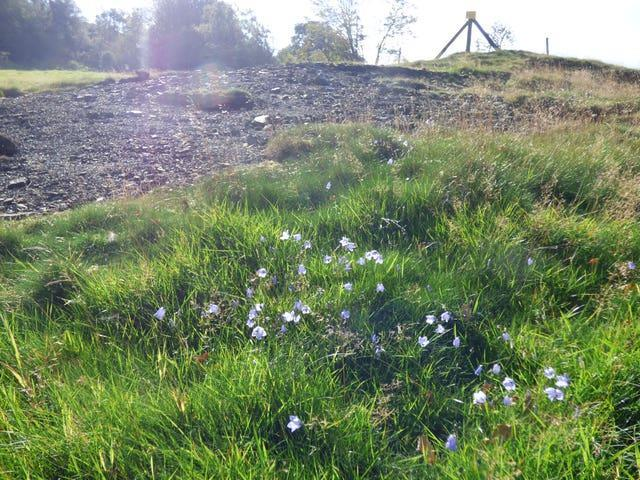 Harebells at Stiperstones