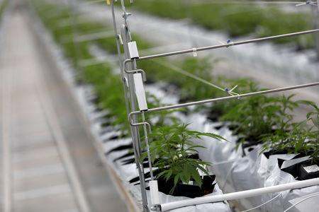 Cannabis plants grow inside the Tilray factory hothouse in Cantanhede, Portugal April 24, 2019. REUTERS/Rafael Marchante