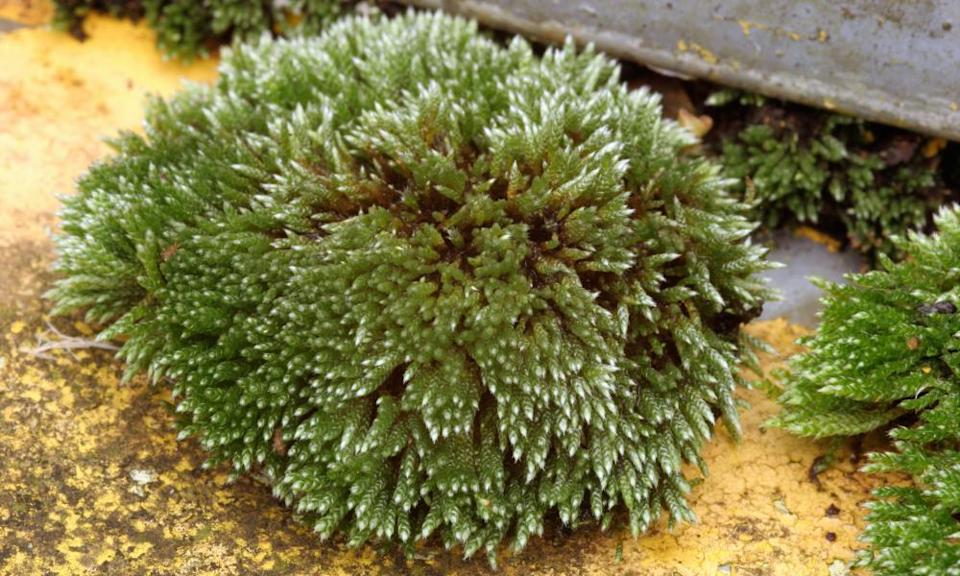Gather your moss: the pretty little silver moss, Bryum argenteum.