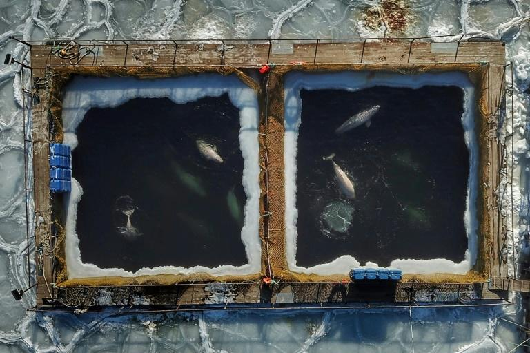 Global outcry followed when pictures were published of the whales struggling to swim through ice-encrusted waters in cramped enclosures