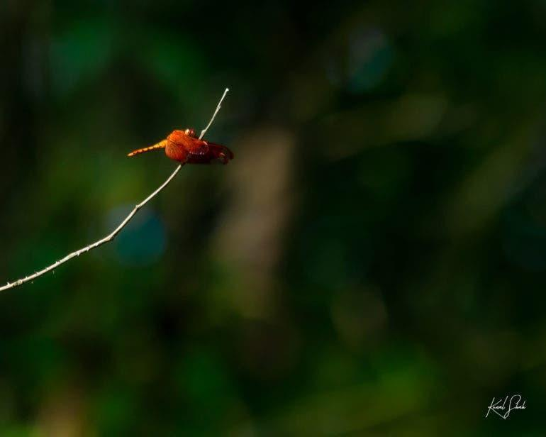 Fulvouse Forest Skimmer
