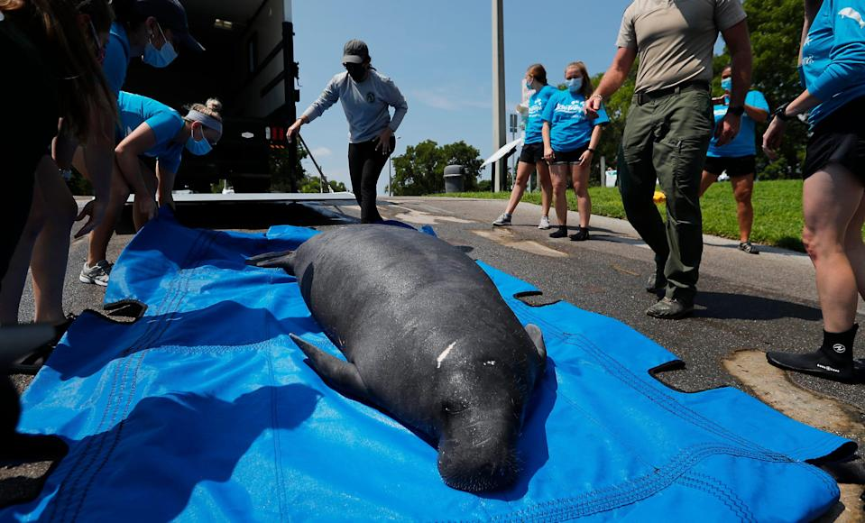 """""""Myerslee"""", a male manatee rescued in April from the Orange River was released on July 27, 2021 in Cape Coral after being rehabilitated at Zoo Tampa. Florida Fish and Wildlife Conservative Commission and Zoo Tampa employees collaborated on the release."""