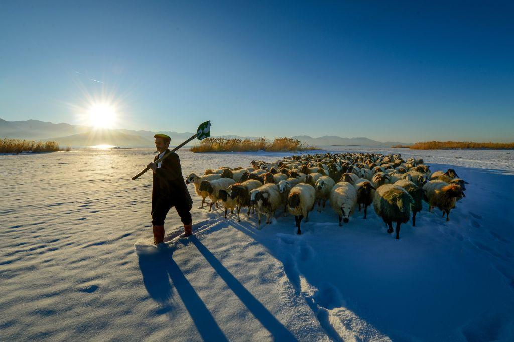 <p>A shepherd carries a shovel as he leads his sheep flock on snow covered ground in cold weather during sunrise in Edremit district of Van, Turkey. A shepherd in Edremit feeds his sheep once in the morning and once in the evening to keep them moving. (Ozkan Bilgin/Anadolu Agency/Getty Images) </p>