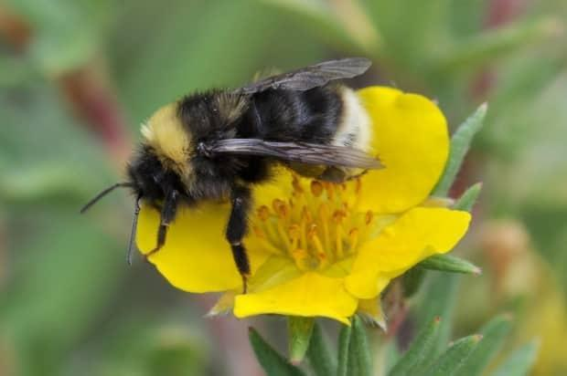 While some bee populatons, like the Western bumblebee, are decreasing, others may   be increasing, according to the study from Simon Fraser University. (Sarah Johnson/Simon Fraser University - image credit)