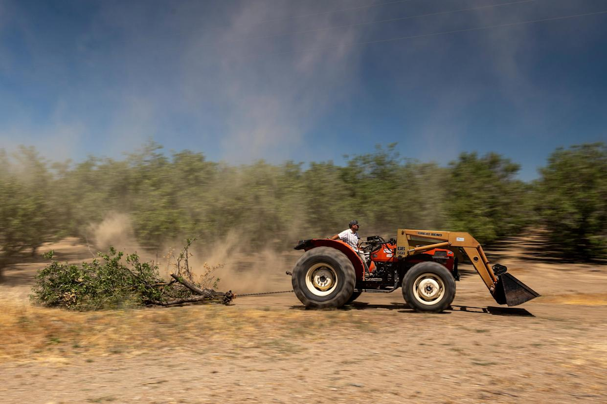 A farmer pulls a wind-felled almond tree with a tractor on an almond farm in Gustine, California, U.S., on Monday, June 14, 2021. (David Paul Morris/Bloomberg via Getty Images)