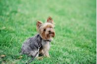 """<p>According to the American Kennel Club (AKC), <a href=""""https://www.akc.org/dog-breeds/yorkshire-terrier/"""" rel=""""nofollow noopener"""" target=""""_blank"""" data-ylk=""""slk:Yorkies are one of the smallest dog breeds"""" class=""""link rapid-noclick-resp"""">Yorkies are one of the smallest dog breeds</a> out there, ringing in at about seven pounds and standing seven to eight inches high. They have long been <a href=""""http://hiddenhavensyorkies.weebly.com/celebrities-and-their-yorkies.html"""" rel=""""nofollow noopener"""" target=""""_blank"""" data-ylk=""""slk:a celebrity &quot;accessory,&quot;"""" class=""""link rapid-noclick-resp"""">a celebrity """"accessory,""""</a> since they're small enough to even travel in a purse.</p>"""