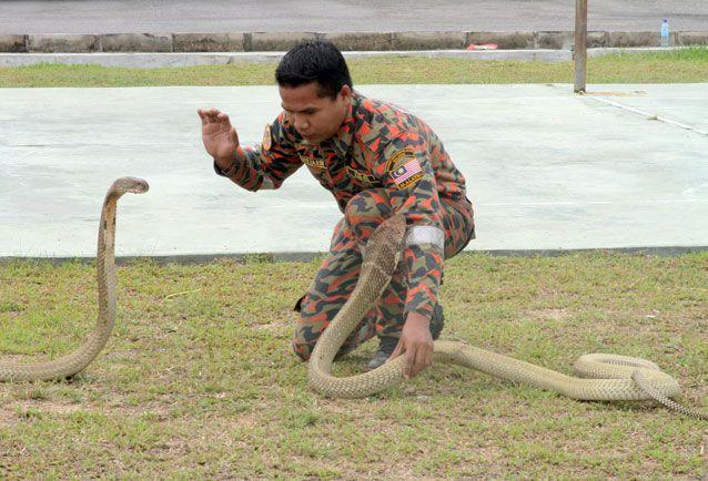 The 'snake whisperer' with two king cobras. Source: Getty Images