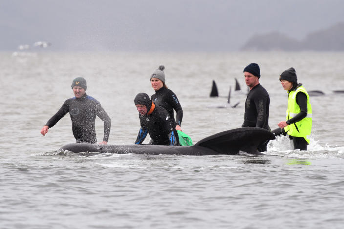 Members of a rescue crew stand with a whale on a sand bar near Strahan, Australia, Tuesday, Sept. 22, 2020. Around one third of an estimated 270 pilot whales that became stranded on Australia's island state of Tasmania had died as rescuers managed to return 25 to the sea in an ongoing operation. (Brodie Weeding/Pool Photo via AP)