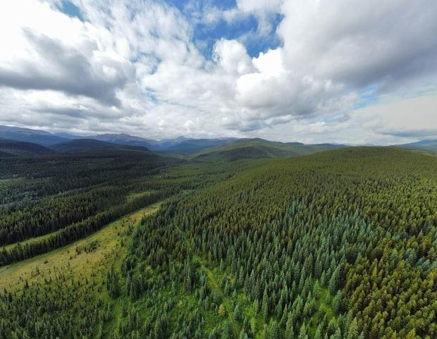 West Fraser, a Canadian forestry company, plans to log old growth south of Grande Cache in caribou habitat. Part of the area slated to be clearcut is shown here. (Supplied by Gillian Chow-Fraser, CPAWS Northern Alberta - image credit)