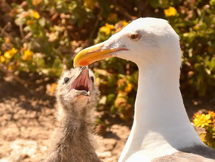 """Anacapa Island, part of Channel Islands National Park, is home to thousands of western gulls. Here a fledgling awaits a regurgitated meal from its mother. <span class=""""copyright"""">(Christopher Reynolds/Los Angeles Times)</span>"""