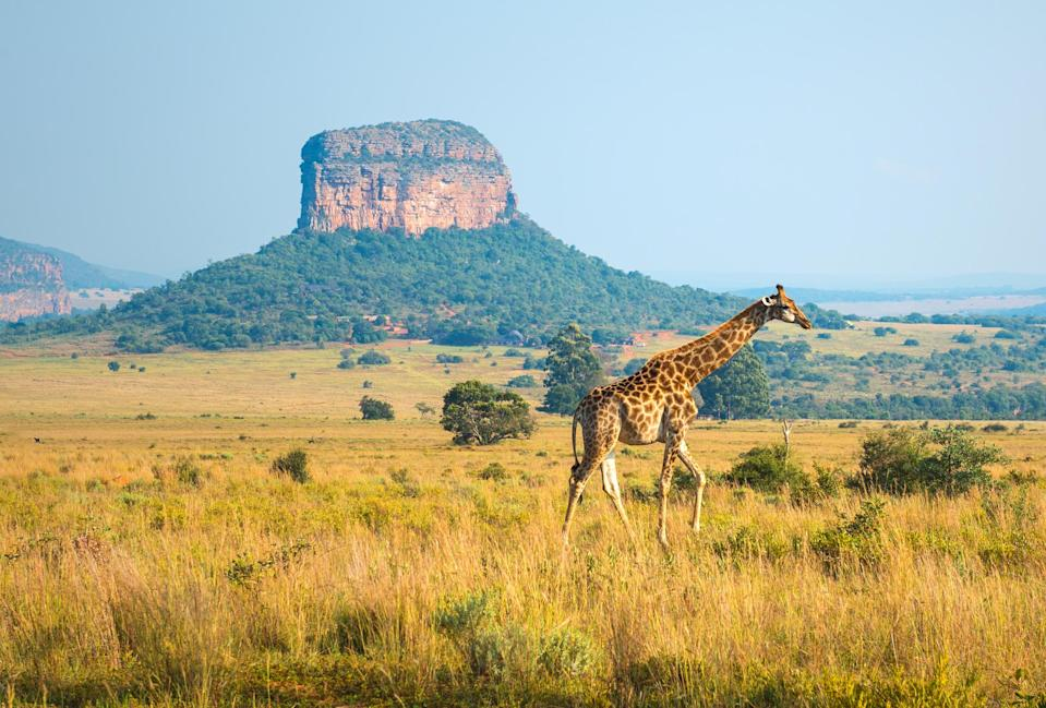 A giraffe walking in the african savannah of Entabeni Safari Wildlife Reserve with a butte geological rock formation in the background, Limpopo Province, South Africa.