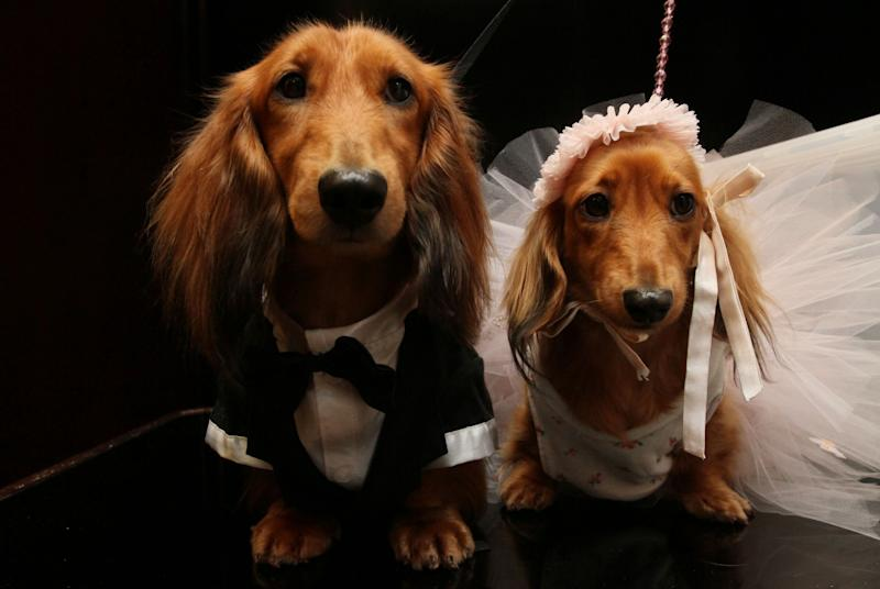 """Dachshunds dressed for the occasion, Clifford, left, and his cousin Dee Dee, wait to take part in the most expensive wedding for pets Thursday July 12, 2012 in New York.  The black-tie fundraiser, where two dogs were """"married"""", was held to benefit the Humane Society of New York. (AP Photo/Tina Fineberg)"""