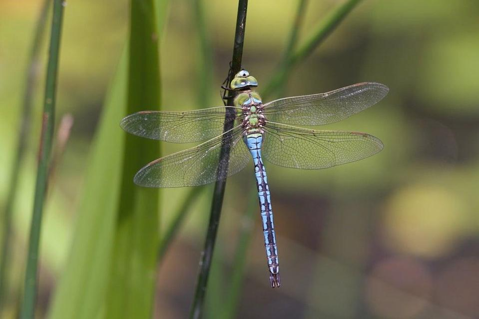 Dragonflies are spreading further towards the north of the UK (Isabel Hardman)