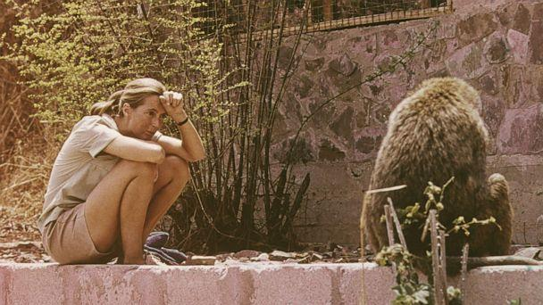 PHOTO: In this 1974 file photo, Jane Goodall sits outdoors and studies an African baboon. (Fotos International/Getty Images, FILE)