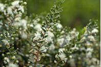 """<p>Fluffy white myrtle, distinguished by its little hairs, has a long-standing tradition of appearing in the bridal bouquets of the British royals. </p><p><strong>Bloom season: </strong>Spring and summer</p><p><a class=""""link rapid-noclick-resp"""" href=""""https://www.thetreecenter.com/natchez-crape-myrtle/"""" rel=""""nofollow noopener"""" target=""""_blank"""" data-ylk=""""slk:SHOP MYRTLES"""">SHOP MYRTLES </a></p>"""