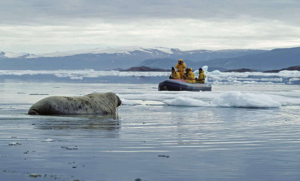walrus in the arctic (JohnPitcher. iStock / Getty Images Plus)