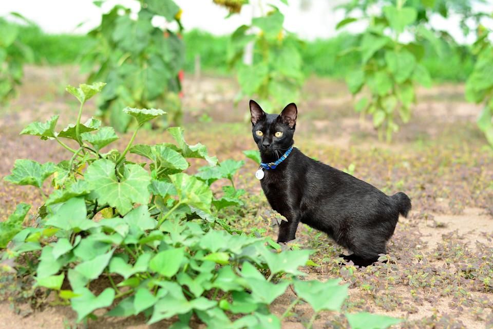 """<p>After living a lavish life as the pets of royalty, the <a href=""""https://www.dailypaws.com/cats-kittens/cat-breeds/japanese-bobtail"""" rel=""""nofollow noopener"""" target=""""_blank"""" data-ylk=""""slk:Japanese bobtail"""" class=""""link rapid-noclick-resp"""">Japanese bobtail</a> was put to work. Mice threatened the silk trees that made up Japan's primary industry back in the day, so the emperor released them into the wild to hunt down the vermin. """"They are revered as the cat that saved Japan,"""" says Keigel. Having reclaimed their rightful place as princes and princesses of the household, the Japanese Bobtails have plenty of energy left over for a game of fetch or tag if there are other cats in the house.</p>"""