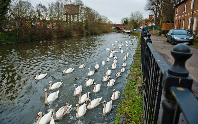 Sixty swans were rescued from the River Kennet after the oil spill - ©2017 Vagner Vidal/INS News Agency Ltd