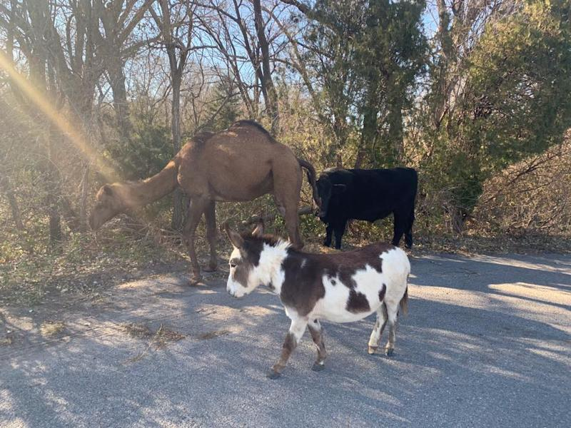 'Halfway towards a live nativity': A camel, cow and donkey were found wandering together on a Kansas road