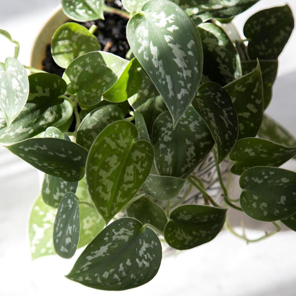 <p>This <span>National Plant Network Devil's Ivy Silver Satin Pothos Plant</span> ($28) thrives in partial to full light. It's super-efficient in cleaning indoor air, and it does so by producing oxygen, improving air humidity, and neutralizing harmful gasses that are common in cleaning products, tissues, and personal care products.</p>