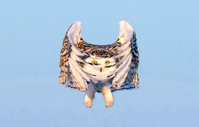 <p>An owl in flight in Canada. (Photo: Sue Dougherty/Caters News) </p>