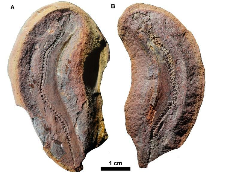 In deference to its tiny size, researchers dubbed the new species Joermungandr bolti after a giant sea serpent from Norse mythology who did battle with Thor
