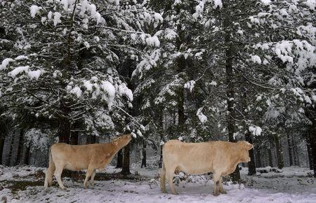 Cows eat pine needles in a snow covered forest in the Basque mountain port of Opakoa, northern Spain, in this November 23, 2015 file photo. REUTERS/Vincent West/Files