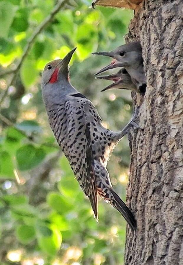 The flicker has two glowing patches on either side of the beak, which naturalist Brian Keating says acts as a target for the mother when feeding baby birds. (Photo by Brian Keating - image credit)