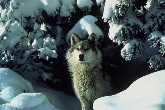 Wolves are highly social animals that live in packs, though lone wolves sometimes disperse, traveling hundreds of miles in search of a mate. Wolf packs live in territories that can range from 50 square miles to more than 1,000 square miles.