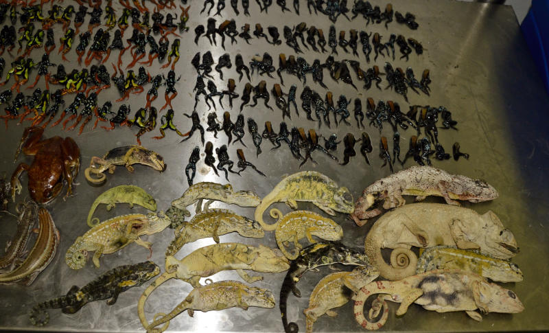 This photo released by National Society for the Prevention of Cruelty to Animals. (NSPCA), shows dead reptiles and amphibians on top of a metal table at the Johannesburg Zoo, South Africa, Wednesday, Jan. 29, 2014. South African animal inspectors say they have intercepted a large consignment of reptiles smuggled from Madagascar and destined for the exotic pet trade in the United States. Estimated 1,600 reptiles and amphibians were discovered during a routine inspection at Johannesburg's international airport. (AP Photo/Miona Janeke, HO, NSPCA)