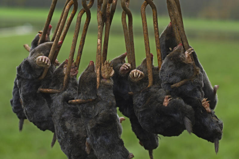 """Frozen moles, previously caught in an unspecified location, are displayed for the photographer by molecatcher Jerome Dormion in the park of the Chateau de Versailles, west of Paris, Thursday, Nov. 15, 2012. The king is dead, but the molecatcher lives on. Jerome Dormion even signs SMS messages: """"Molecatcher to the king."""" It's been over two centuries since Louis XVI was guillotined on Paris' Place de la Concorde, but the job of hunting the underground rodent that so troubled French monarchs on the grounds of the Versailles palace still exists. (AP Photo/Thibault Camus)"""