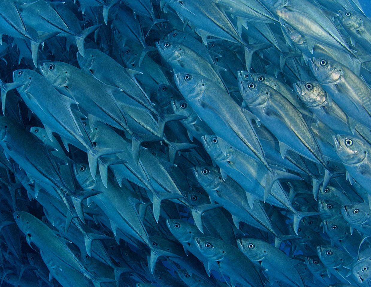 PIC BY OCTAVIO ABURTO / CATERS NEWS - (PICTURED A close-up of the fish) - Smile - its the school photo! This is the hilarious moment a marine photographer managed to capture hundreds of wide-eyed fish apparently posing for a picture. Californian photographer and conservationist Octavio Aburto had spent years photographing the school in Cabo Pulmo National Park, Mexico - and had been trying to capture this exact shot for three years. The Bigeye travellies fish gather in their thousands in the oceans during courtship. SEE CATERS COPY