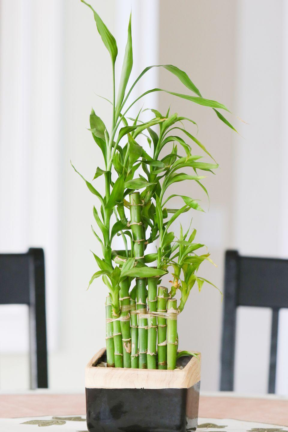 <p>Bamboo is great in a low light room and is easy to care for. It will help create that spa feeling at home. Bamboo grows and spreads quickly so having some in a pot makes it more manageable. </p>