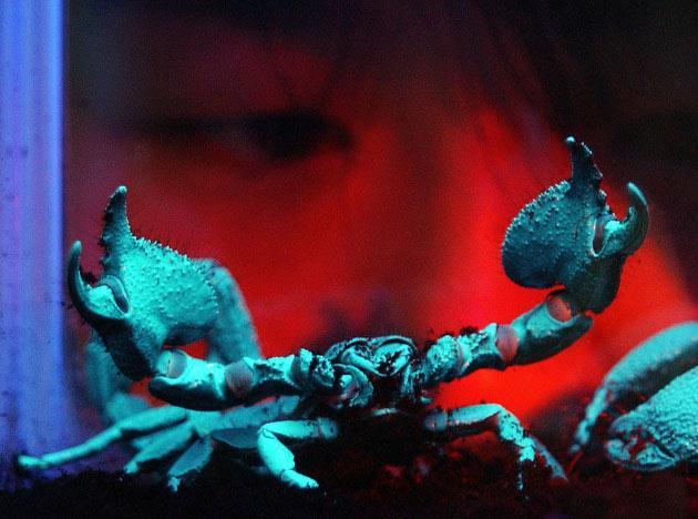 Falco Situ, a 25-year-old member of staff at Taipei Sea World, watches a rare six-inch (15 cm) Asian Emperor Scorpion, displayed to the media in Taipei, 01 August 2003. The poisonous Emperor Scorpion turns blue under fluorescent light and can live for three to five years. There are more than 50 different kinds of insects, scorpions and spiders being exhibed at the center. AFP PHOTO/Sam YEH
