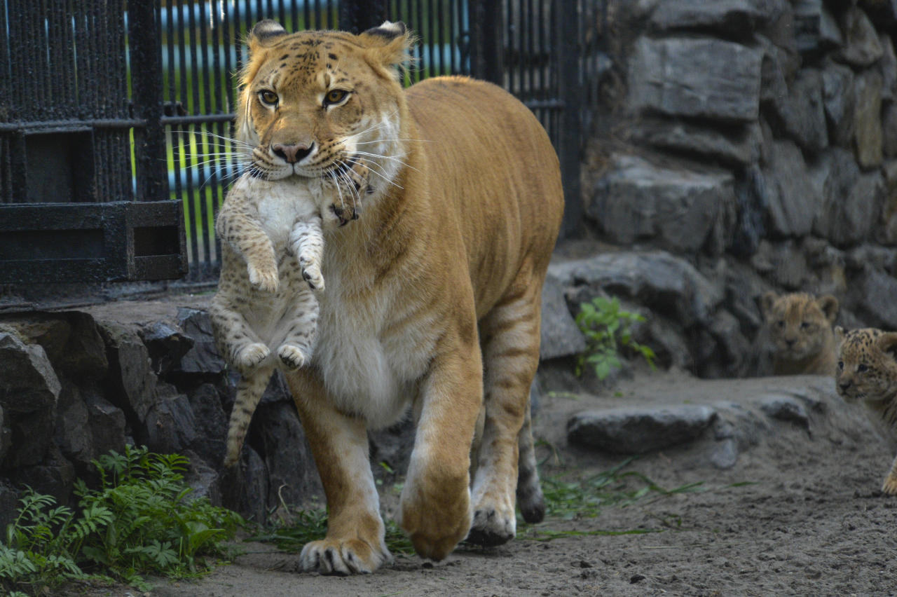 In this Tuesday, June 18, 2013 photo, Zita, a liger - half-lioness, half-tiger - carries her one month-old liliger cub in the Novosibirsk Zoo. The cub's father is a lion, Sam. (AP Photo /Ilnar Salakhiev)